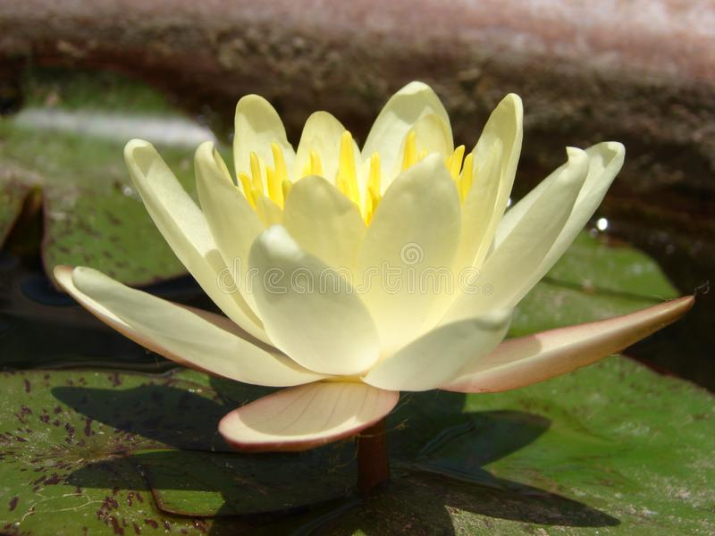 Closeup av en Waterlily blomma royaltyfria foton
