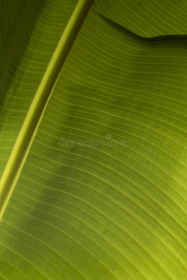 Closeup av ett bananblad royaltyfria bilder