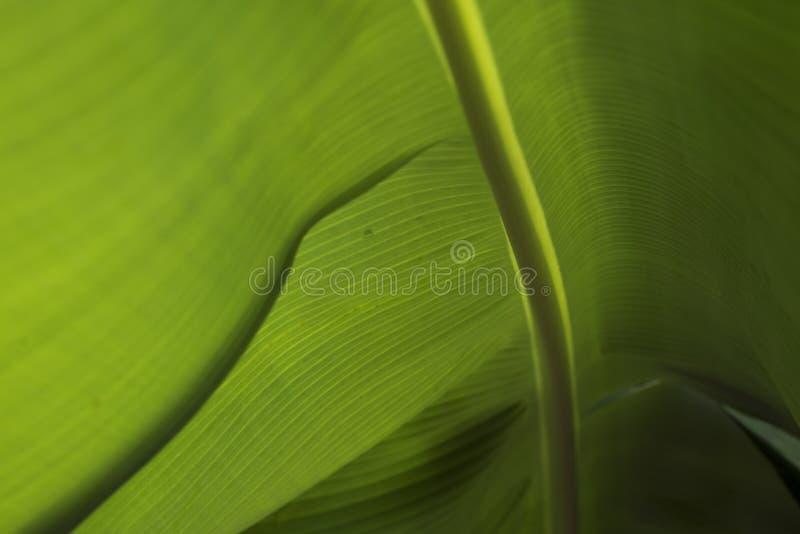 Closeup av ett bananblad royaltyfria foton