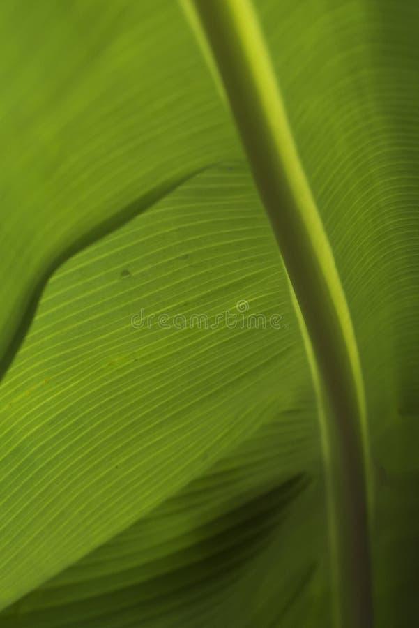 Closeup av ett bananblad royaltyfri foto