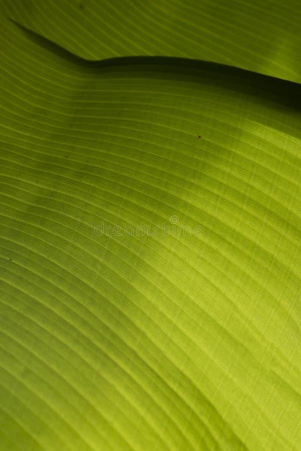 Closeup av ett bananblad arkivbilder