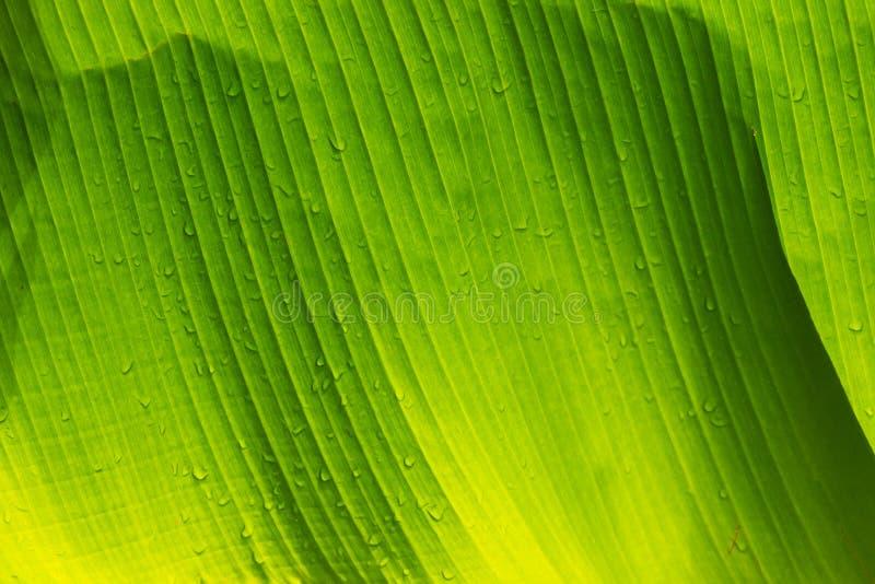 Closeup av ett bananblad royaltyfri fotografi