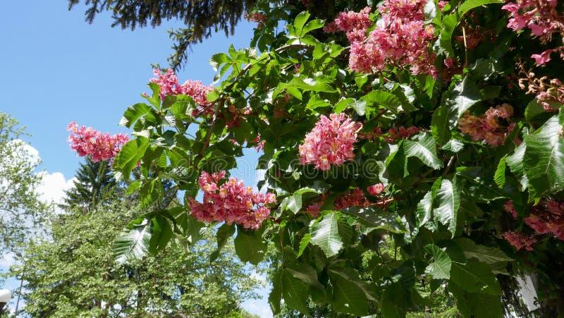 Closeup av ett blomstra röd kastanjebrunt träd för häst/Aesculus carnea/på solig dag med en blå himmel royaltyfria foton