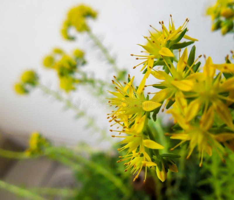 Closeup av ett par av små gula blommor med grön och vit bakgrund royaltyfri fotografi