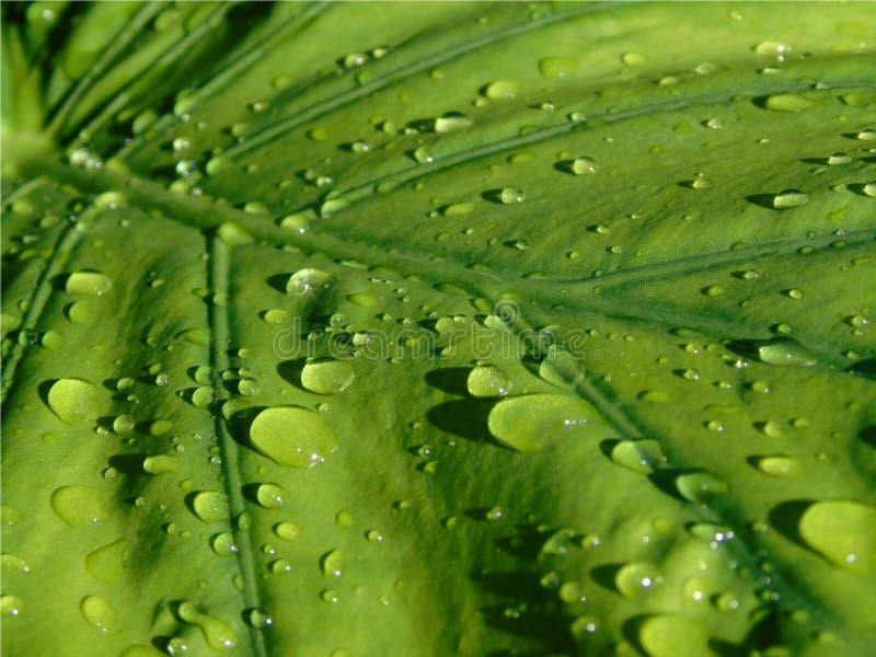 Closeup av ett stort grönt Alocasiablad med droppar av regn som glider över det, bakgrund av en växt efter regnet arkivfoton