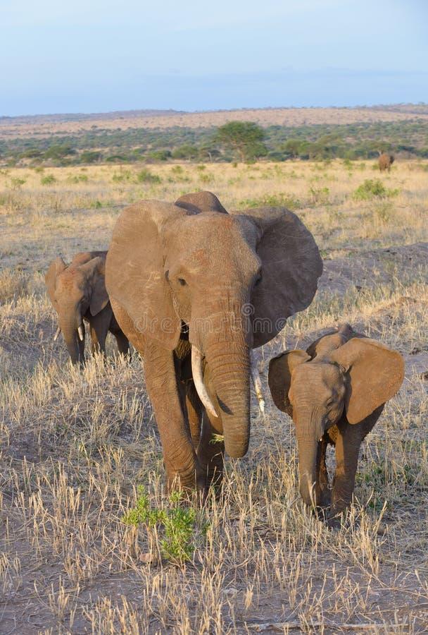 Closeup av familjen för afrikansk elefant royaltyfria bilder