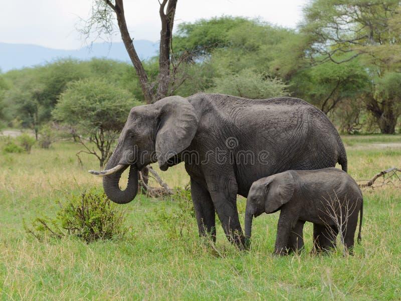 Closeup av familjen för afrikansk elefant royaltyfri fotografi