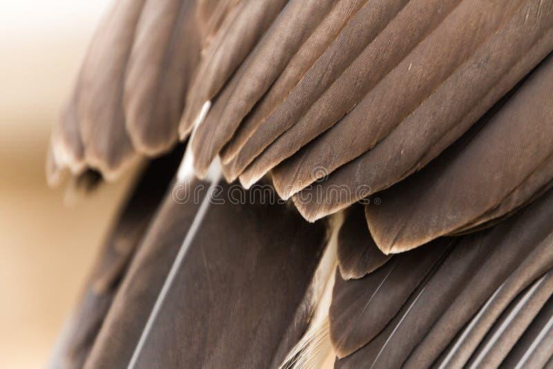 Closeup av fjädrar av en captive Harris Hawk parabuteounicinctus, falkenerarkonst arkivbilder