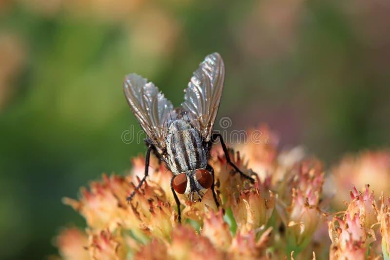 Closeup av flugor arkivbilder