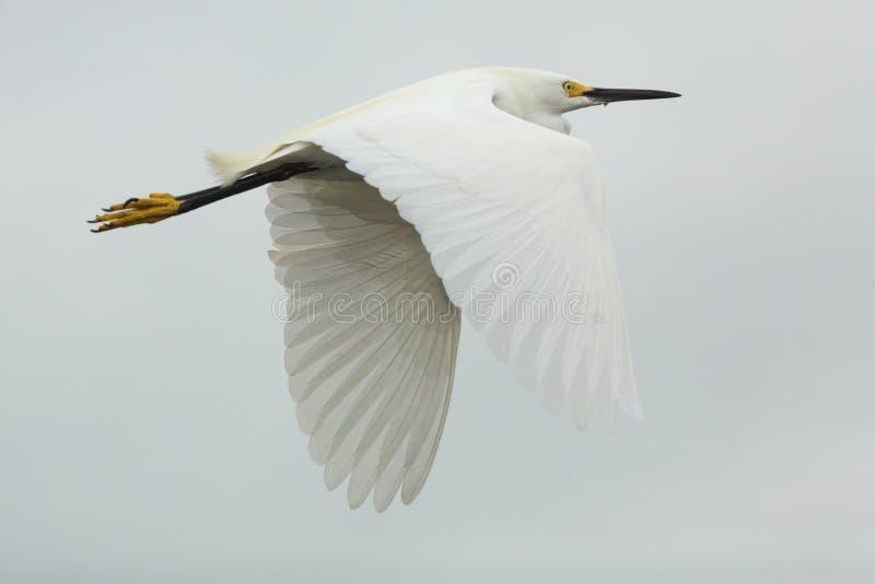 Closeup av flyget för snöig ägretthäger med vingar som är utbredda i Florida arkivfoto