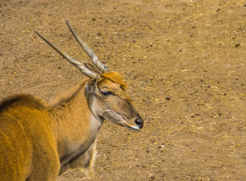 Closeup av framsidan av en gemensam eland, tropisk antilopspecie från Afrika royaltyfri fotografi