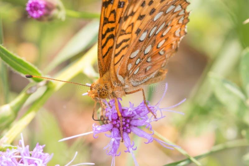 Closeup av fritillaryart som matar och pollinerar på en purpurfärgad vildblomma i grässlättarna av området I för Crexängdjurliv royaltyfria foton
