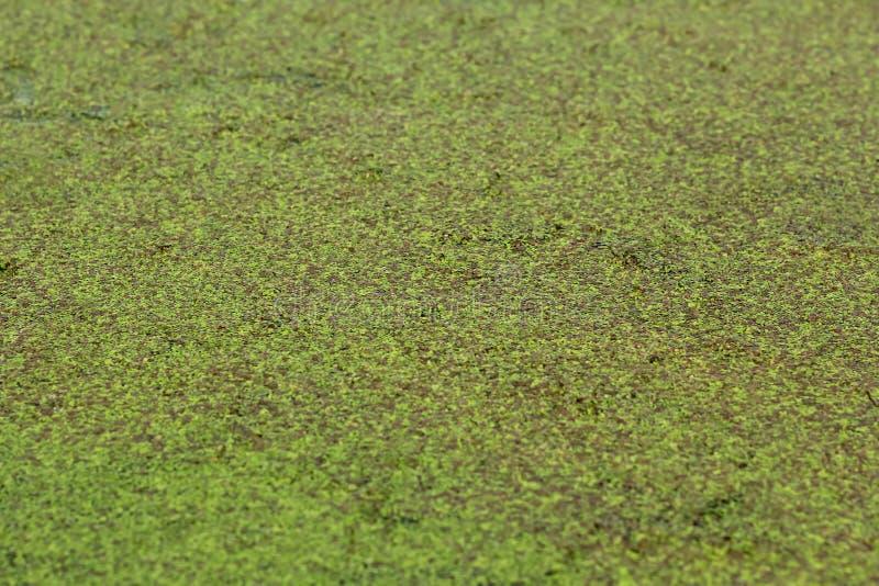 Closeup av frodig andmatgrönska för sjö/för damm arkivfoto