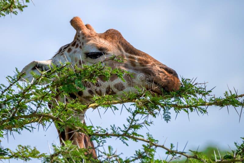 Closeup av giraffet arkivfoto