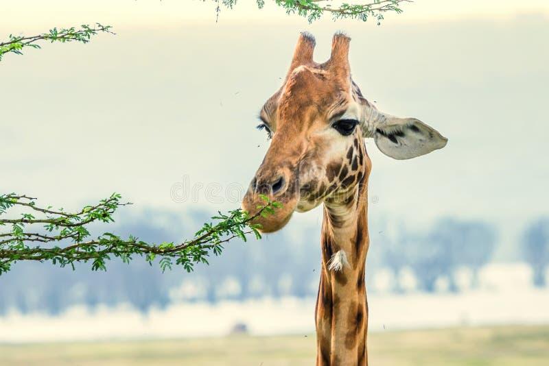 Closeup av giraffet royaltyfria bilder