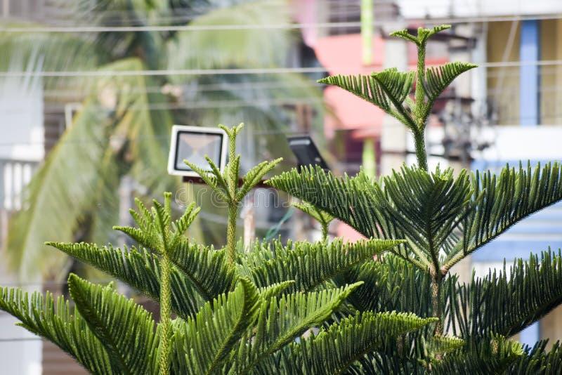 Closeup av gräsplan av ThujaträdPlatycladus orientalis på isolerad stadsbakgrund vintergr?n v?xt Blomma julsidor fotografering för bildbyråer