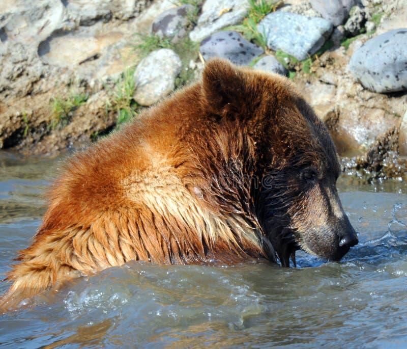 Closeup av grisslybjörnen royaltyfria foton