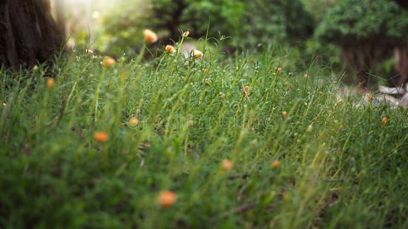 Closeup av gula lösa blommor och grönt gräs arkivfoton