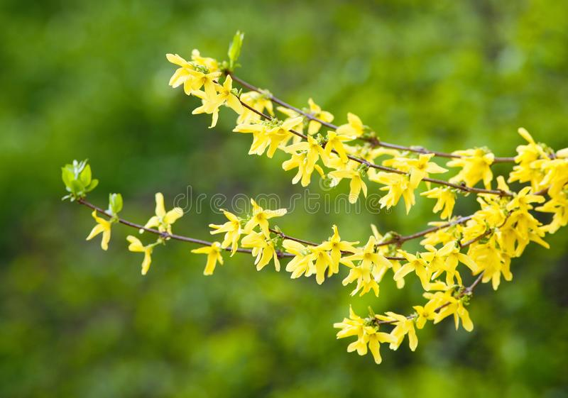 Closeup av gullregnblomman på blomningen royaltyfri bild