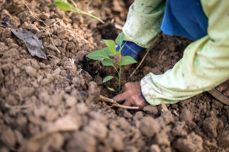 Closeup av handen som planterar chili ett plantaträd arkivfoto