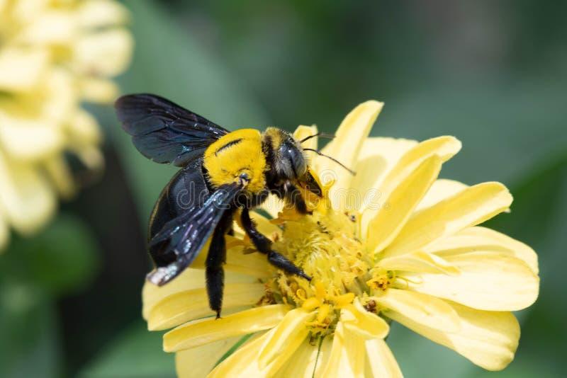 Closeup av humlan som samlar nektar från en Zinniaviolaceablomma arkivfoton