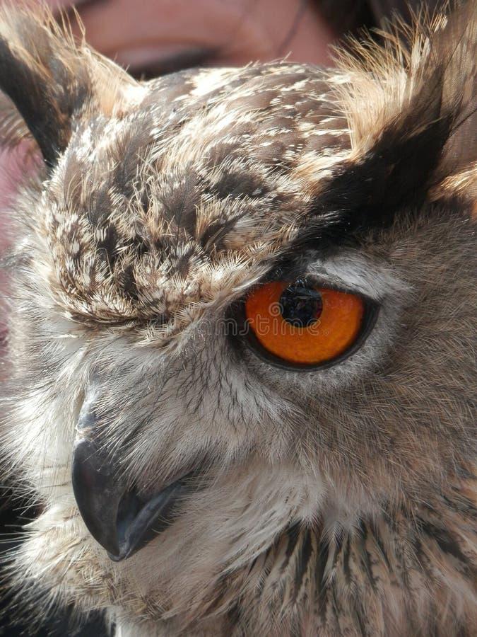Closeup av huvudet av en EurasianEagle-uggla i tre fjärdedelar sikt arkivbild