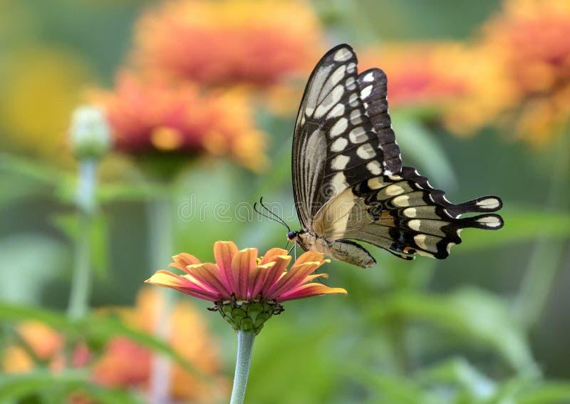 Closeup av jätteSwallowtail Papilio cresphontes Quebec arkivfoto