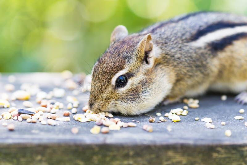Closeup av jordekorre som äter frö på träavsatsen, mjuk gräsplan för arkivfoton