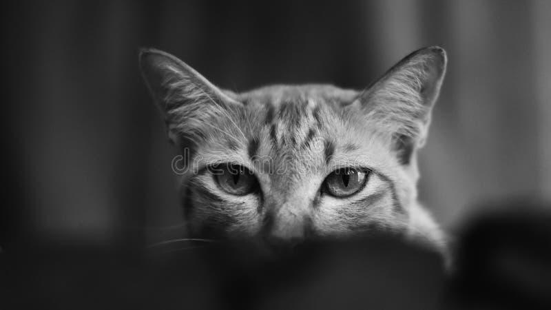 Closeup av katten i svartvit stil royaltyfri foto