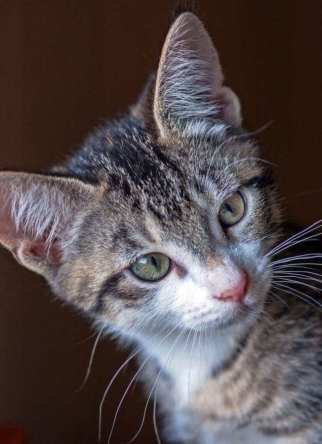 Closeup av Kort-Haired bruna Tabby Kitten med den vita hakan arkivfoto