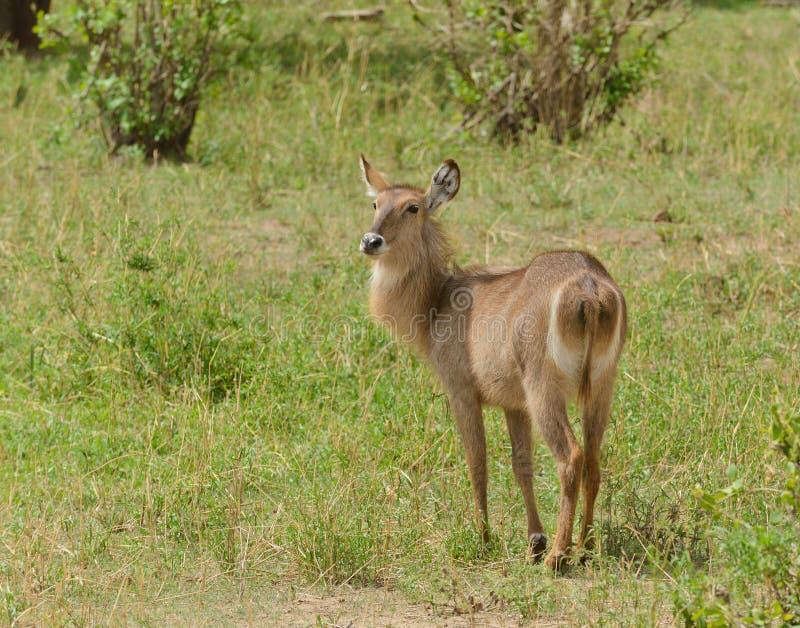 Closeup av kvinnlign Waterbuck i Tanzania royaltyfri foto