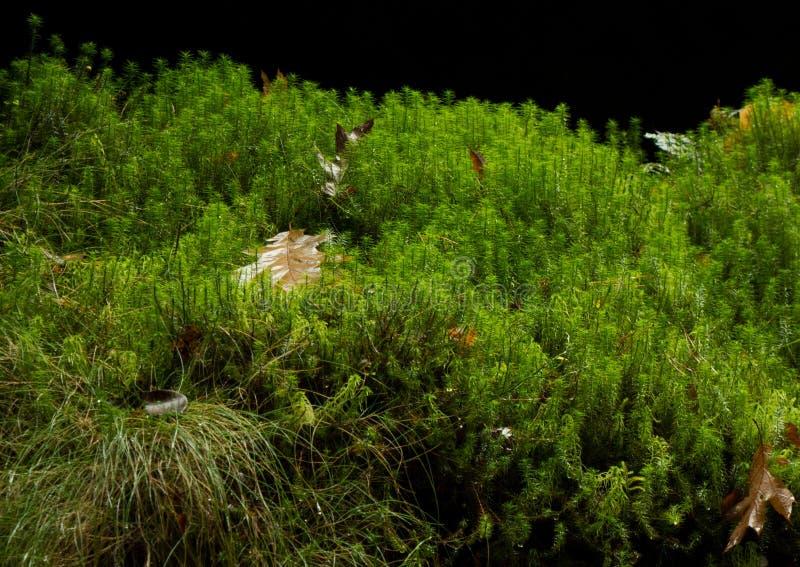 Closeup av lång stemmed mossa i våt höstskog arkivfoto