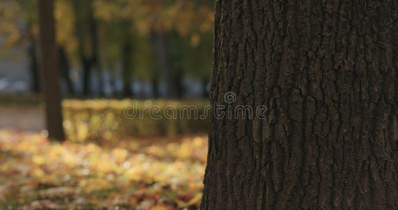 Closeup av lönnträdstammen i höststad arkivfoto
