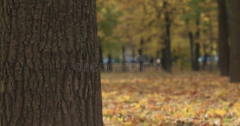 Closeup av lönnträdstammen i höststad royaltyfri fotografi