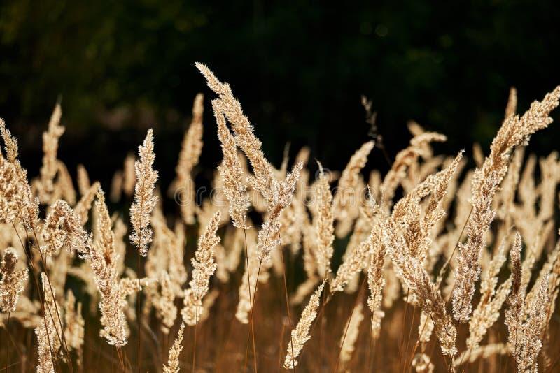 Closeup av löst gräs som glöder i guld- skuggor från aftonsolstrålarna som bakifrån kommer i motsats av en mörk oskarp bakgrund arkivbilder