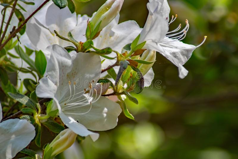 Closeup av l?sa vita Azalea Flowers arkivfoton