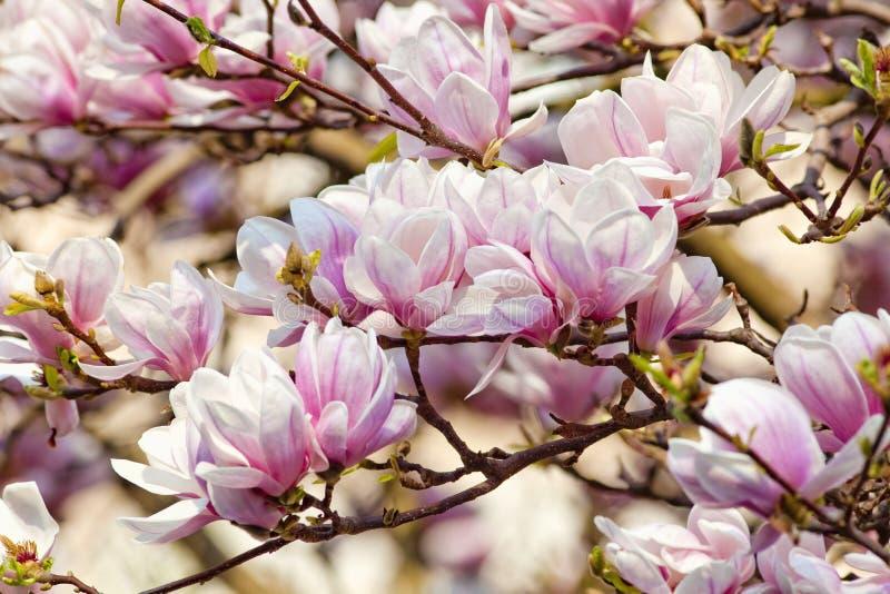 Closeup av magnoliablomman på blomningen royaltyfri foto