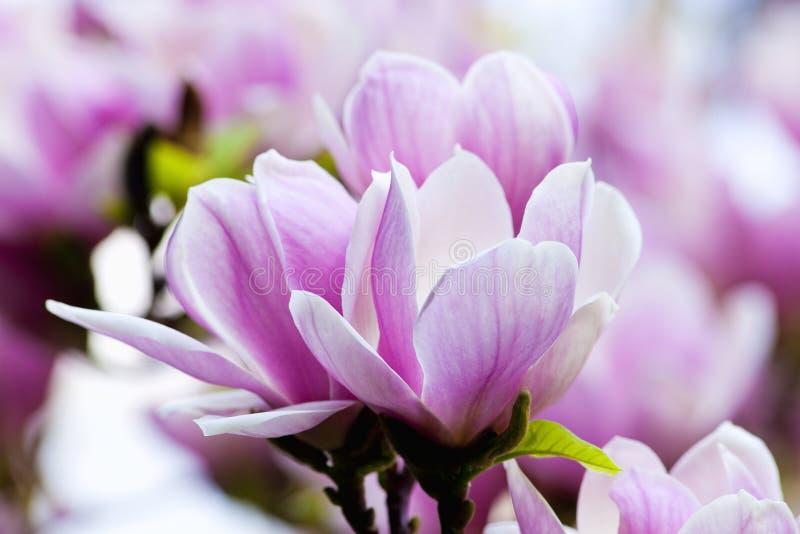 Closeup av magnoliablomman på blomningen arkivbilder