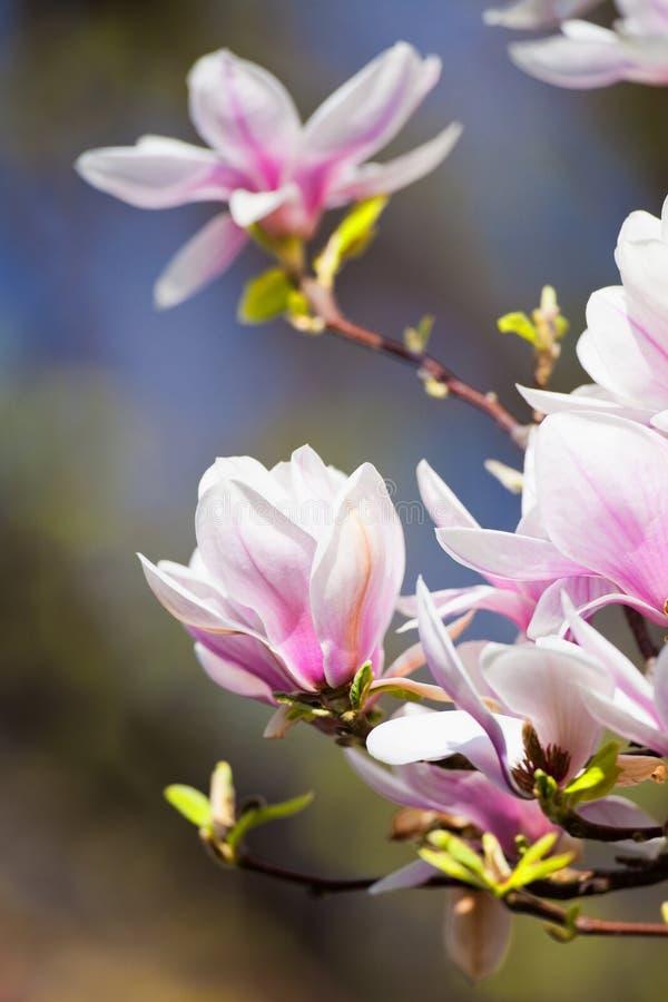 Closeup av magnoliablomman på blomningen royaltyfria foton