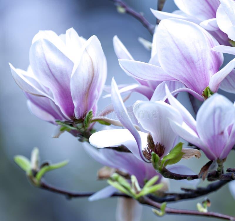 Closeup av magnoliablomman på blomningen royaltyfri fotografi