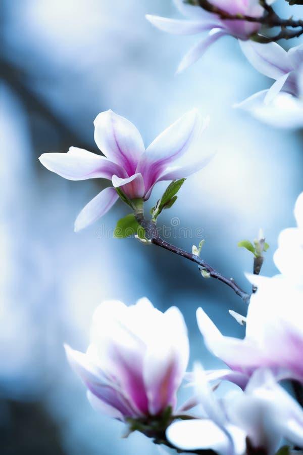 Closeup av magnoliablomman på blomningen arkivfoton