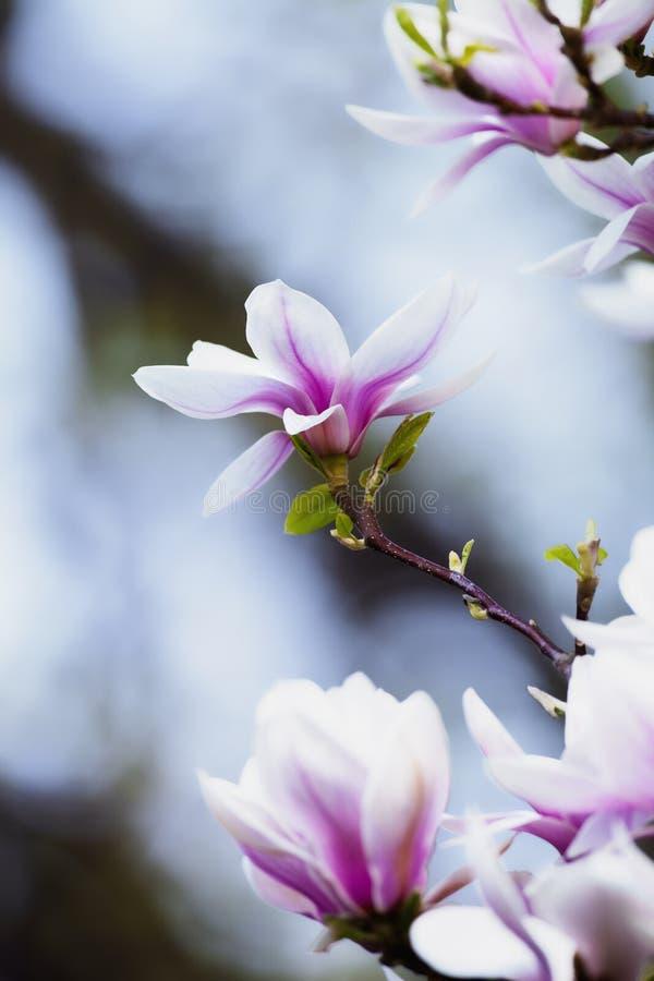 Closeup av magnoliablomman på blomningen royaltyfria bilder