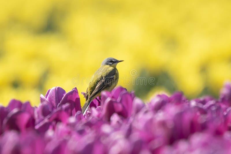 Closeup av manligt västra gult sjunga för flava för sädesärlafågelMotacilla fotografering för bildbyråer