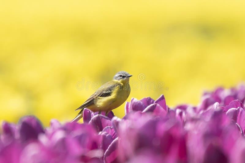 Closeup av manligt västra gult sjunga för flava för sädesärlafågelMotacilla arkivbilder