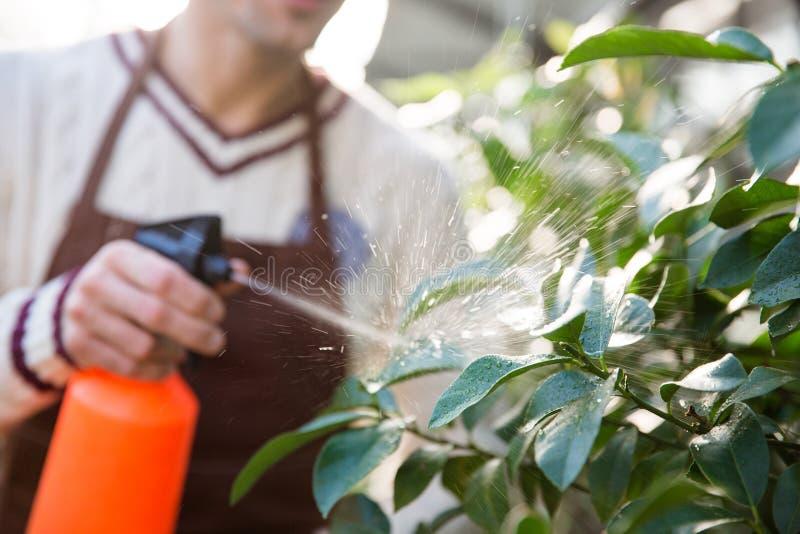Closeup av manträdgårdsmästaren som besprutar växter genom att använda vattenpulverizeren arkivbild