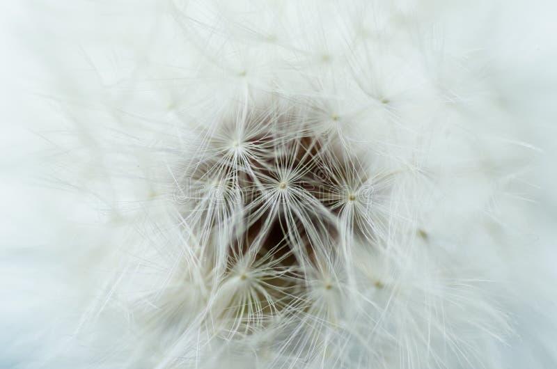 Closeup av maskrosen - naturlig bakgrund royaltyfri foto