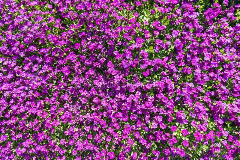 Closeup av mycket purpurfärgade aubrietablommor royaltyfri bild