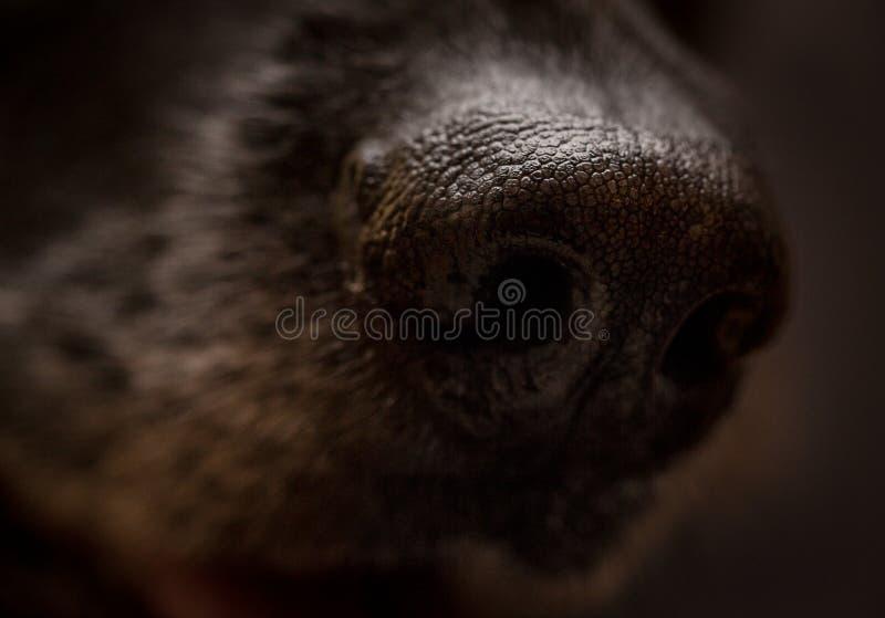 Closeup av näsan för tysk herde royaltyfria foton