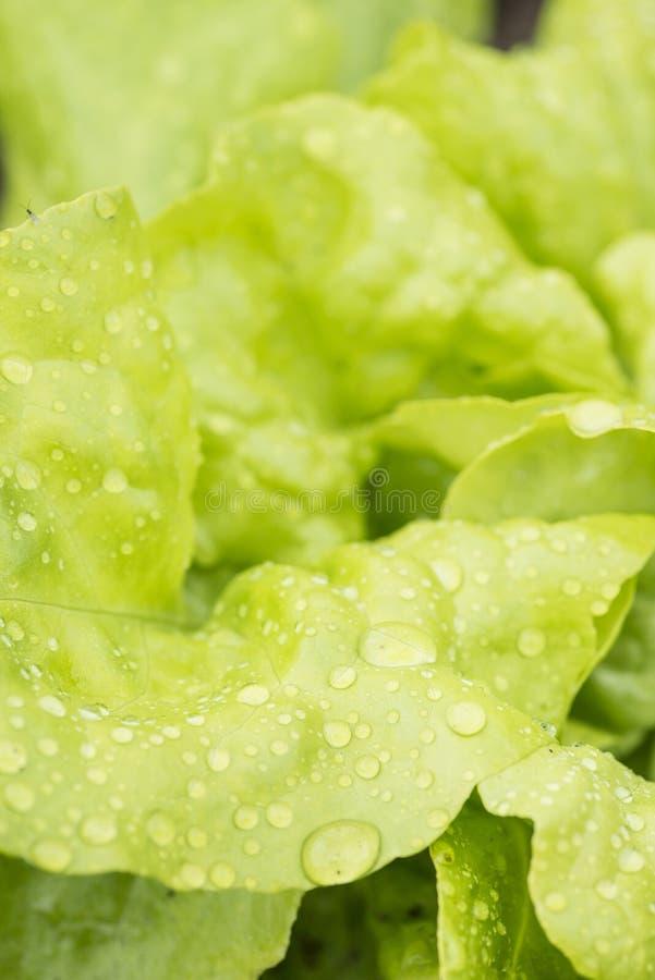 Closeup av ny våt grönsallat som växer i trädgård royaltyfri fotografi