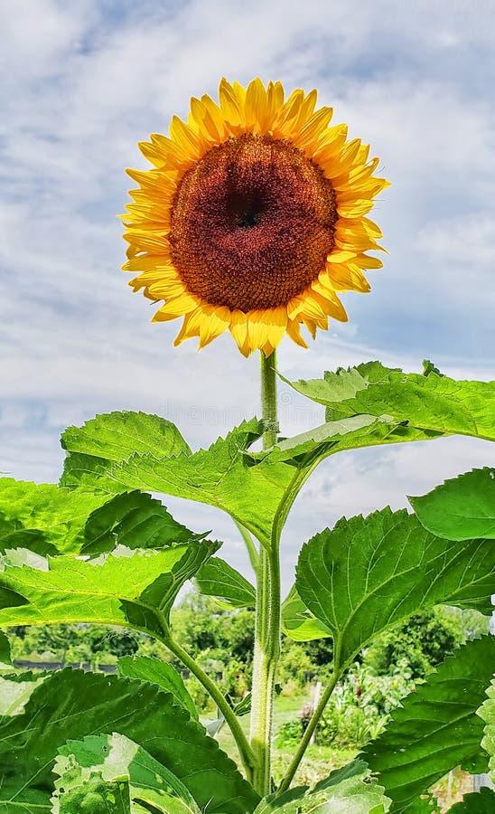 Closeup av oavkortad blom för solros royaltyfri illustrationer